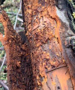 Altbaum mit schweren Befall